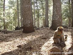 Makaki w lesie cedrowym w Azrou, Maroko