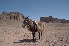 Muł transportowy w Górach Saghro